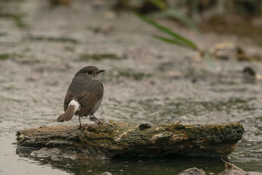Sigma 150-600c Sony A7RII Hong Kong Plumbeous Water Redstart One Animal Animal Themes Animals In The Wild Bird Focus On Foreground Animal Wildlife Perching Rock - Object No People Day Close-up Nature Outdoors Robin Sparrow Water