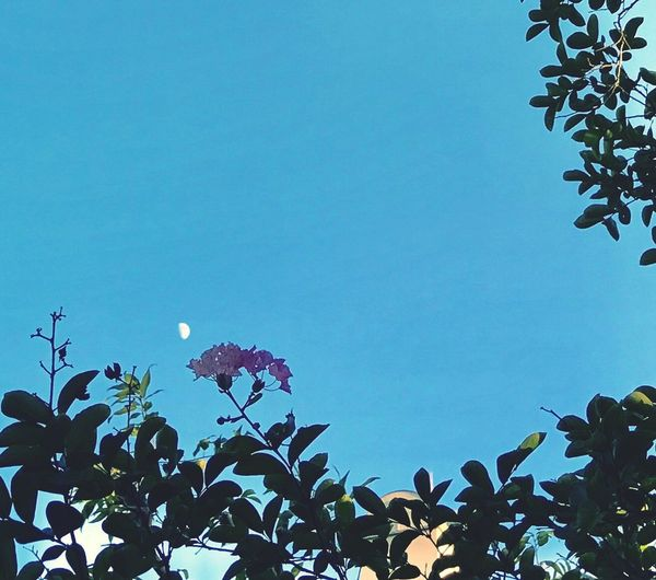 Low Angle View Flower Growth Blue Tree Leaf Beauty In Nature Clear Sky Plant Nature Day Freshness Sky Branch No People Fragility Outdoors Close-up Moon