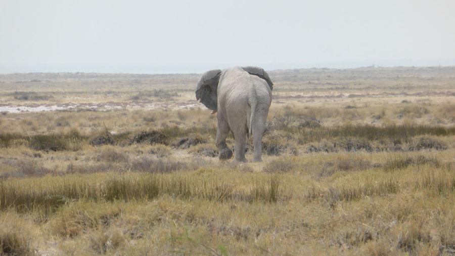 Elephant in Etosha National Park, Namibia Animal Themes Clear Sky Domestic Animals Elephant Field Grass Grazing Herbivorous Horizon Over Land Livestock Mammal Nature No People Non-urban Scene One Animal Outdoors Tranquil Scene Tranquility Zoology