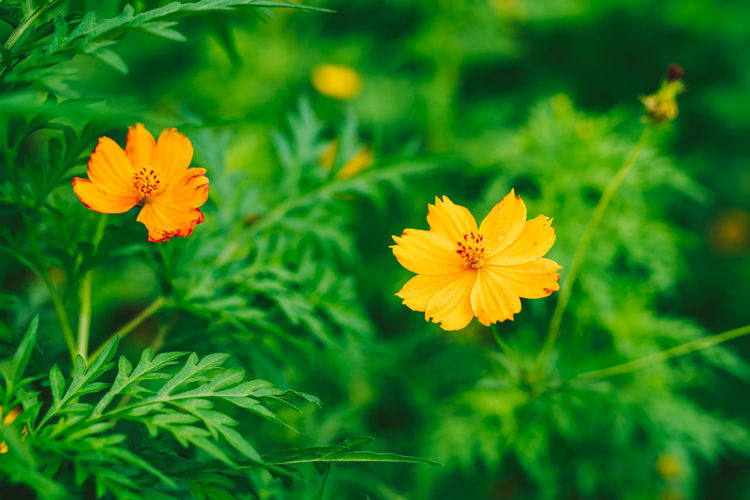 Close-up of yellow cosmos flower on field