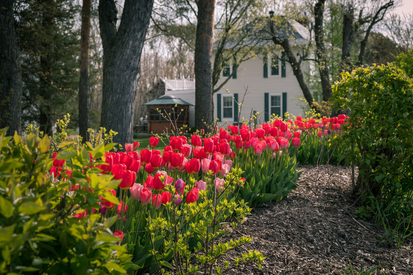 Tulips Beauty In Nature Building Exterior Flower Flowerbed Flowering Plant Front Or Back Yard Multi Colored Nature No People Outdoors Pink Color Plant Red Tree Tulip