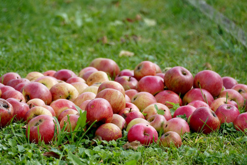 Apple Breakfast Growth Nature Tree Apple Tree Background Close-up Day Food Food And Drink Freshness Fruit Fruits Healthy Healthy Eating Healthy Food Keep Away Doctor Nature Nature_collection No People Outdoors Red Apple