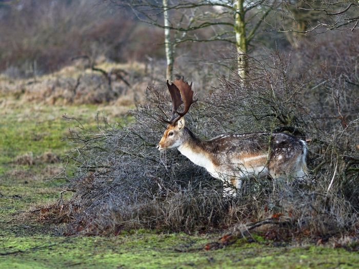 Fallow Deer Stag Deer Dunes Of Holland Plant Animals In The Wild Nature Animal Wildlife Animal Themes Animal No People