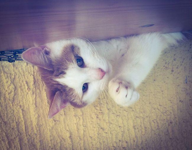 Domestic Animals Pets Katze cat