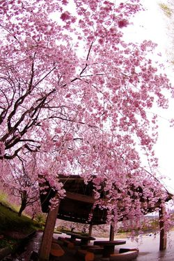 Sakura Sakura2015 Flowers Pink Flower Japan Photography Everyday PENTAX Pentax Fisheye Pentax K-5 Spring Flowers DA FISHEYE 10-17mm f3.5-4.5