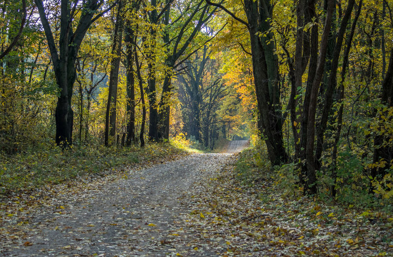 Golden woods full of oak and maple trees makes a peaceful drive during autumn in michigan usa