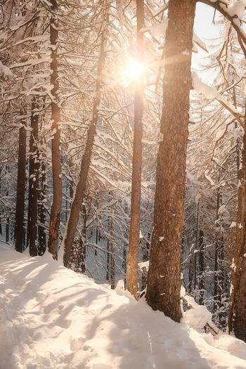 Sunlight streaming through trees on snow covered land