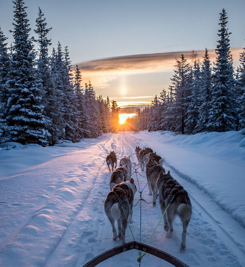 Sled Dogs On Snow Covered Landscape During Sunset