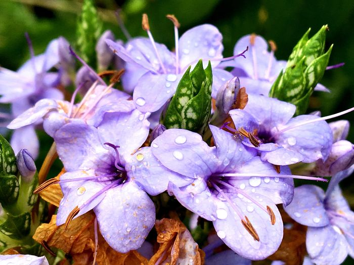 Australian wildflowers Wild Flowers Wildflowers Flowers Purple Droplets Petal Freshness Flower Wet Fragility Drop Water Close-up Flower Head Rain Beauty In Nature TakeoverContrast Growth Nature In Bloom Weather Dew Vibrant Color Selective Focus Australia