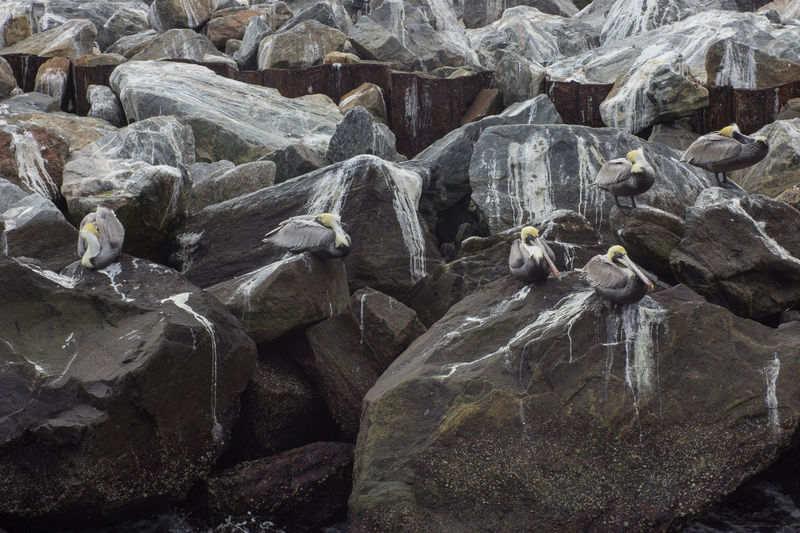 Pelican guano Animal Themes Day Full Frame Guano Jetty Park Jetty Rocks Large Group Of Animals Nature No People Outdoors Pelicans Pelicans Roosting Rock - Object