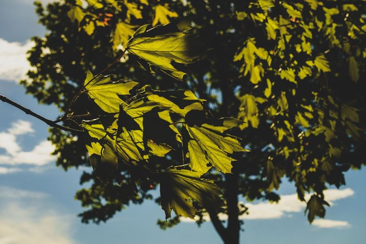 Plant Tree Growth Leaf Plant Part Yellow Nature Beauty In Nature Focus On Foreground Branch Close-up No People Sky Day Low Angle View Outdoors Tranquility Autumn Selective Focus Vulnerability  Leaves Change Maple Leaf EyeEm Best Shots EyeEm Nature Lover EyeEm Selects My Best Photo