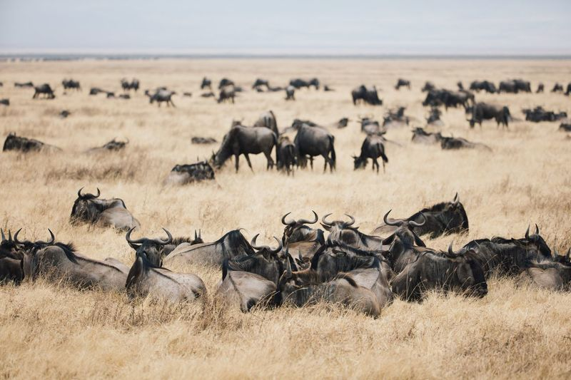 Wildebeests on grass against sky