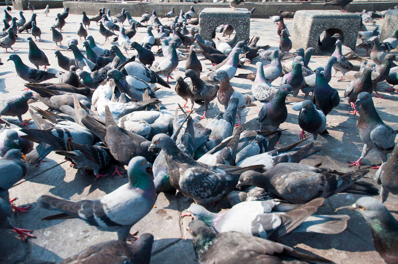 High angle view of pigeons at paved walkway in park