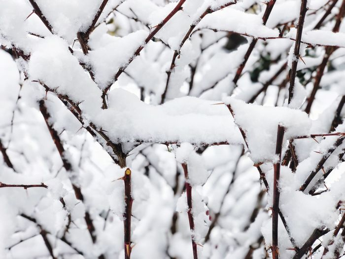 Snow Winter Cold Temperature White Color Plant Covering Nature Tree Day Frozen Beauty In Nature Tranquility Outdoors No People Close-up Branch