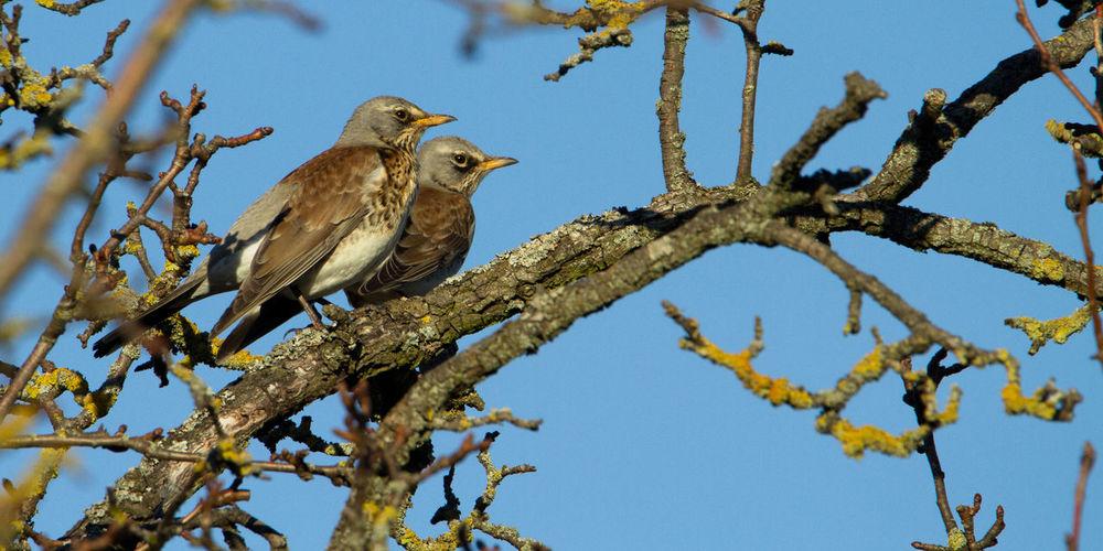 Fieldfares Bird