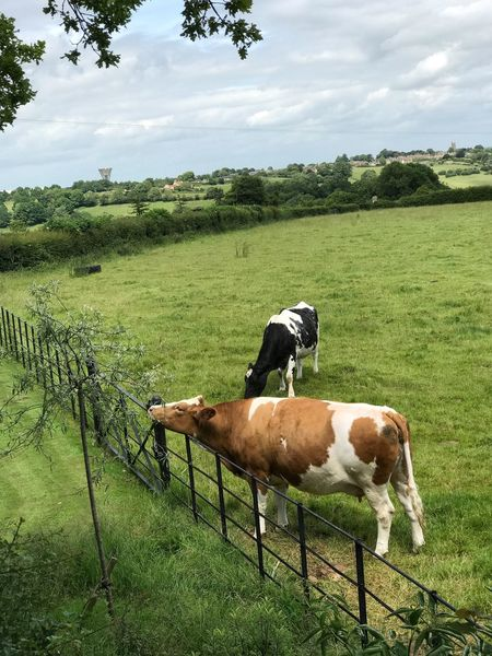 Perspectives On Nature Field Grass Green Color Animal Themes Tree Cloud - Sky Sky Landscape Growth Day Domestic Animals Nature No People Outdoors Livestock Mammal Beauty In Nature Grazing Full Length Cows In A Field Cows Cows Grazing Cattle Livestock