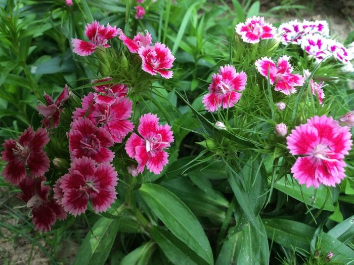 Mixed Dianthus Barbatus by FRED V.H Dianthus Barbatus Flowers Close-up Flower Flower Head Freshness Inflorescence Petal Pink Color Plant