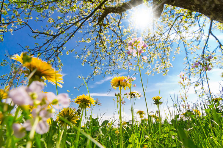Sunny flower field in springtime Plant Flower Beauty In Nature Growth Sky Nature Day Sunlight Field Land Petal Sun Spring Lens Flare Springtime Outdoors Tree Low Angle View Dandelion Grass Herbs Ecology Green Envrionment Schwäbische Alb