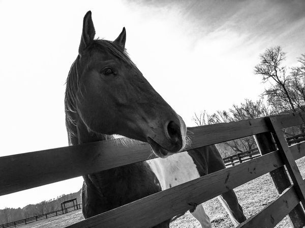 Horse One Animal Domestic Animals Animal Themes Animal Head  Paddock Animal Body Part Mammal Sky Day Animal Pen Outdoors Close-up No People Hoofed Mammal