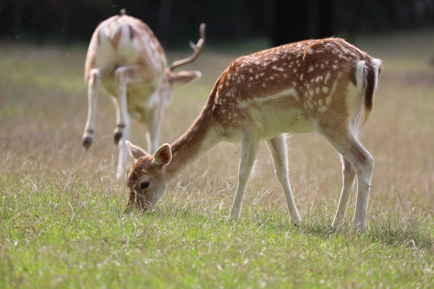 Animal Themes Animal Wildlife Animals In The Wild Close-up Day Deer Domestic Animals Field Full Length Grass Grazing Mammal Nature No People Outdoors Young Animal