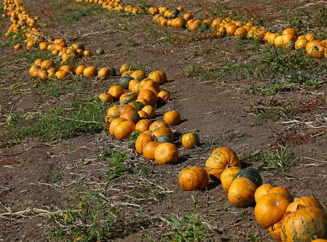 The field of ripe yellow orange pumpkins ready to harvest in Autumn season Agriculture Autumn Good Weather Crop  Cultivated Land Day Farming Field Food Food And Drink Freshness Growth Harvest Nature No People Orange Color Outdoors Pumpkin Ripe Rural Scene Season  Sunny Day Sunshine Vegetable Yellow