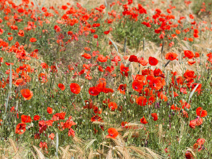 Close-up of poppy flowers growing in field