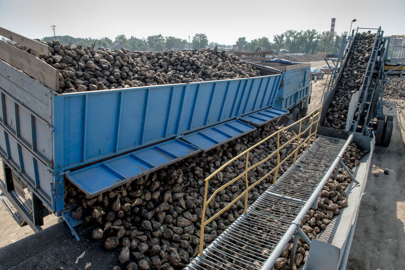 Sugar Beets Unloading From Truck At Factory