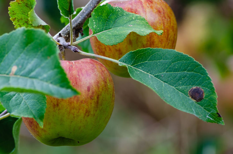 Apples ready to pick from the tree. Apple Apples Beauty In Nature Branch Close-up Day Focus On Foreground Food Food And Drink Freshness Fruit Green Color Growth Healthy Eating Leaf Nature No People Outdoors Plant Plant Part Ripe Tree Wellbeing