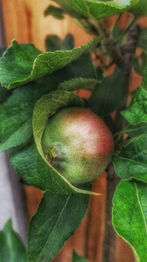Apple Apple Tree Little Fruit
