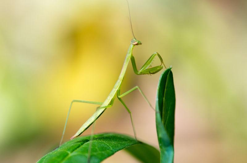 Close-up of praying mantis on leaves