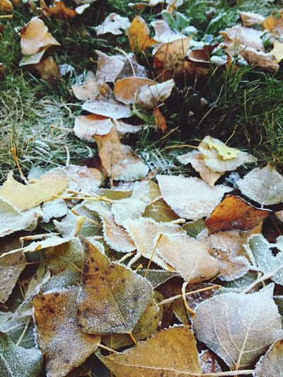 Leaves Fallen Leaves Autumn Leaves Cold Cold Days Icy Leaves Frosty Frosty Leaves IPhoneography Iphonography Iphoneonly No People Berlin Berliner Ansichten Nature Beauty In Nature Nature Photography Nature_collection