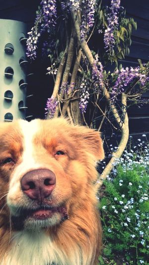 My dog, this superstar Bergeraustralien Spring Dog Staylikethis Mysweety I Love My Dog Australianshepherd Flowers Littleeyes Lovely