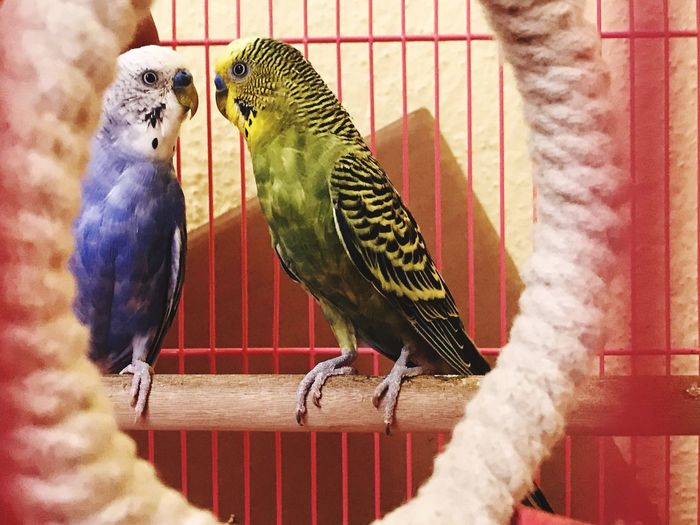EyeEm Selects Bird Perching Budgerigar Birdcage Indoors  Cage Pets