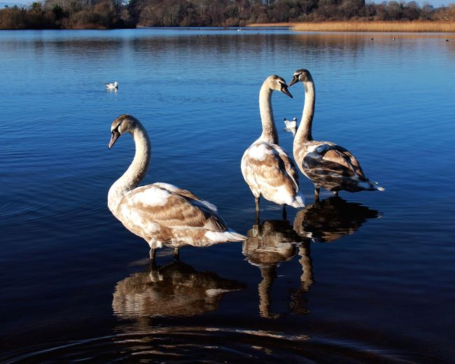 Swans Standing In Lake