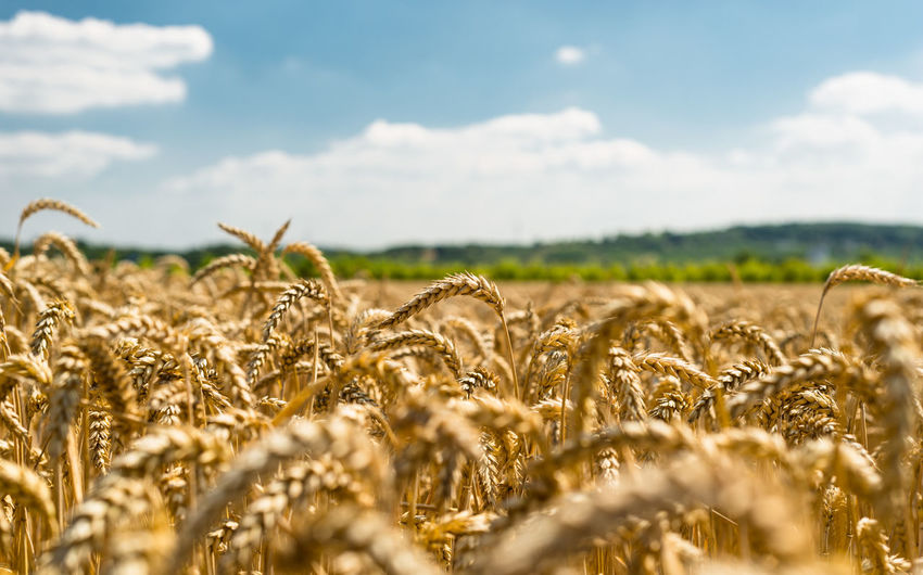 Landscape of golden wheat field by summertime on background blue sky with clouds and trees. Landscape Field Land Plant Environment Sky Rural Scene Agriculture Growth Beauty In Nature Day Nature Farm Cereal Plant Wheat Nature Trees Summer Agriculture Wheat Field Blue Plant Countryside Yellow