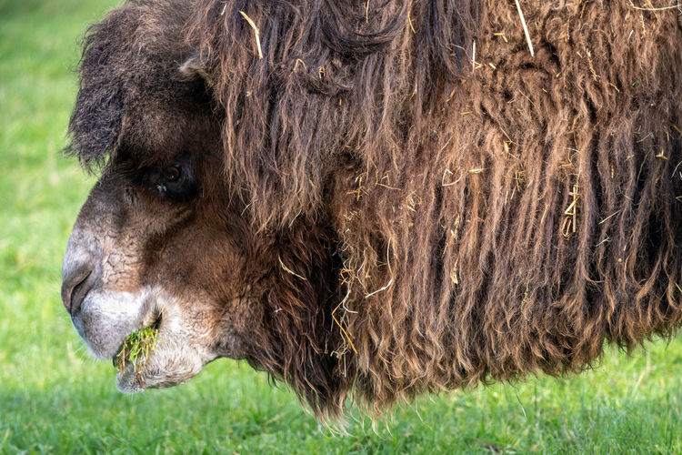 Head shot of a bactrian camel  grazing.
