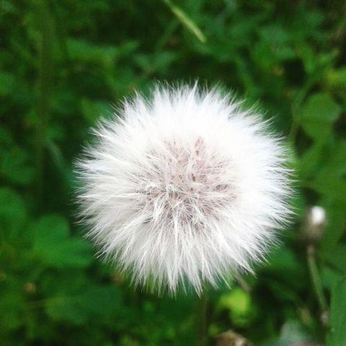 🌿🍃 Dientesdeleon Flor Flower Nature Naturaleza Blanco White Green Peace 🌞 Lindos Pasto Art Vida Life Parcela 🍁🍀🌹🌸🍂🌼🌺🌻🌾Best  Bestday Primavera Thebest Thebestofmylife Spring