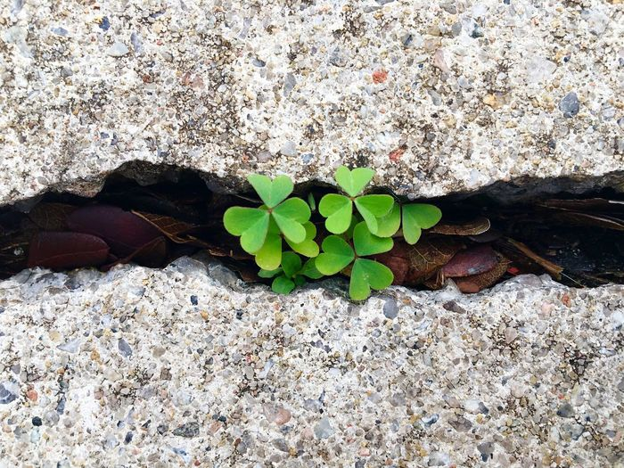 Three-leaf clovers grow between cracks of concrete pavement in Singapore. Singapore Plant Growing Plants Plant Life Concrete Floor Concrete Concrete Jungle Survival Growing Nature Environment Growth Botany Three Leaf Clover Three Leaf Composition Leaves Screensaver Wallpaper Adapted To The City