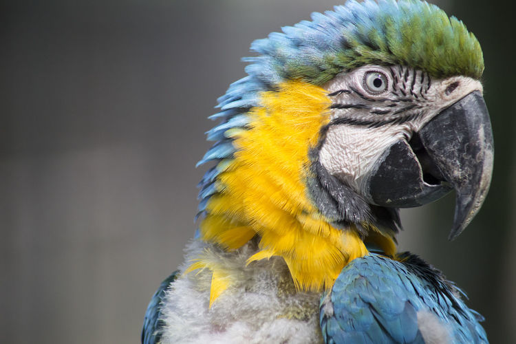 Close-up of blue and gold macaw