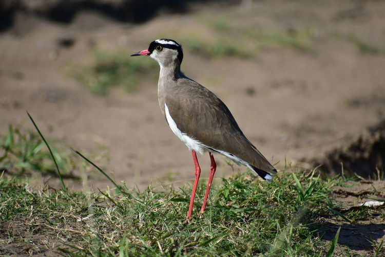 Crowned Lapwing Crowned Bird Wildlife & Nature Animalia Beauty In Nature Bird Bird Photography Plover Lapwing Long Legs Bird Close-up Beak Leg Feather