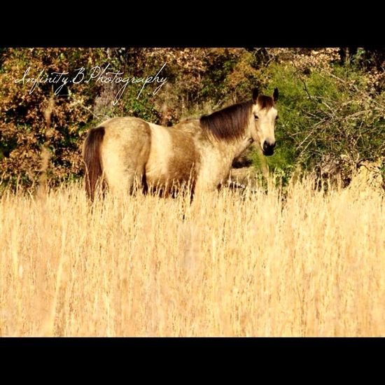 First Eyeem Photo #horse Buckskin Quarter Horse Field Grass Dapples