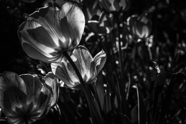 🌷 Bnw Bnw_friday_eyeemchallenge EyeEm Best Shots EyeEm Selects EyeEm Taking Photos Eye4photography  Master_shots Growth Nature No People Flower Blackandwhite Beauty In Nature Backgrounds Monochrome Plant Fragility Focus On Foreground Flower Head Flower Petal Elégance Close-up Plant Blooming Plant Life In Bloom Botany Blossom Summer Exploratorium EyeEmNewHere