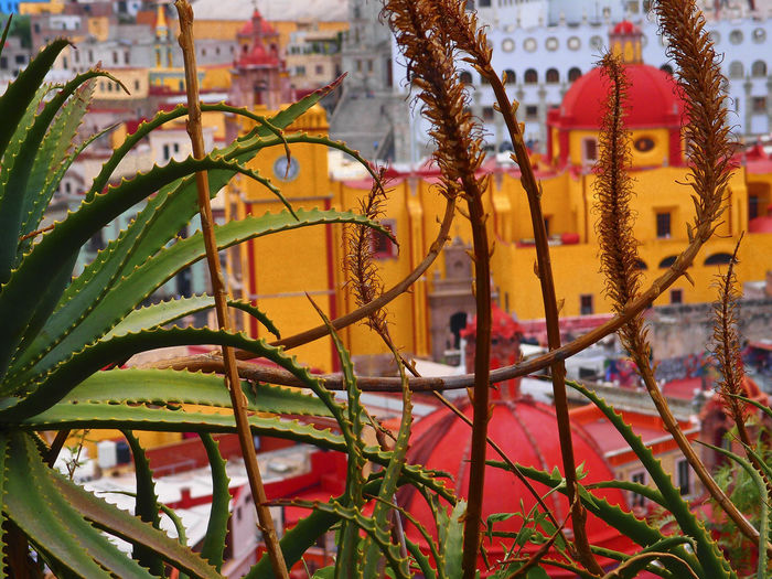 Cactus with Guanajuato Centro architecture in the blurred background Guanajuato, México Mexico Architecture Beauty In Nature Building Exterior Built Structure Close-up Day Flowering Plant Focus On Foreground Leaf Nature No People Plant Plant Part Selective Focus Yellow
