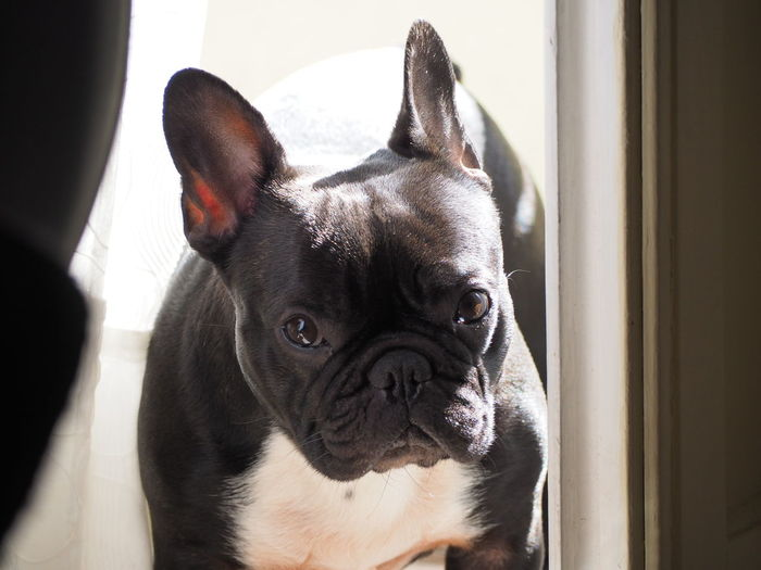 EyeEm Selects Pets Portrait Dog Bulldog French Bulldog Looking At Camera Close-up The Photojournalist - 2018 EyeEm Awards