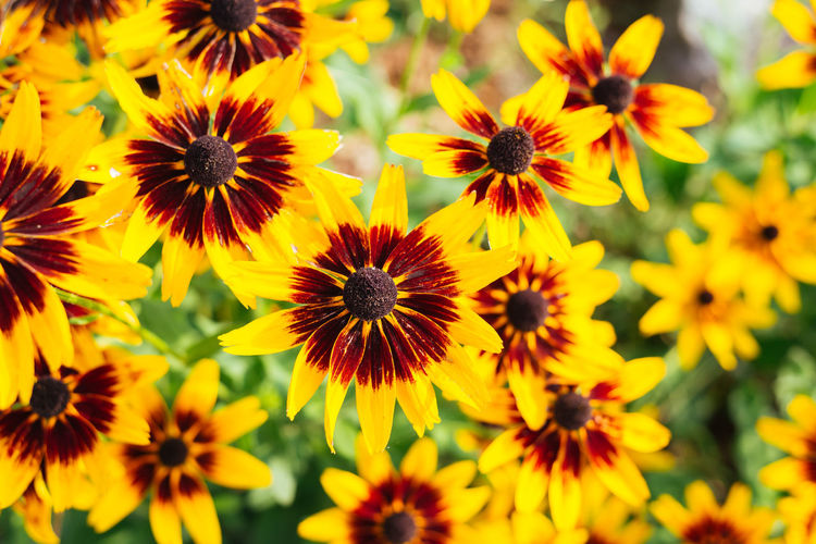 I don't usually post flowers but gotta say these ones were stunning. Beauty In Nature Black-eyed Susan Blooming Close-up Day Flower Flower Head Fragility Freshness Growth Nature No People Outdoors Petal Plant Yellow