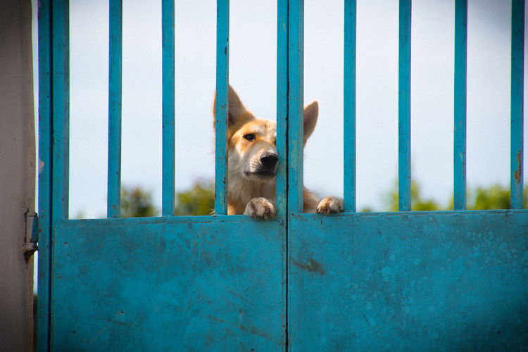 Dog Behind Blue Metallic Fence