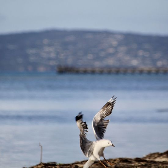 What a fantastic flutter! Animals In The Wild Beauty In Nature Bird Day Flapping Flying Focus On Foreground Motion One Animal Sea Seagull Spread Wings Water