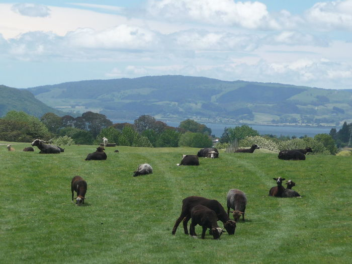 Animal Themes Beauty In Nature Cloud - Sky Day Domestic Animals Field Flock Of Sheep Grass Grazing Green Color Landscape Large Group Of Animals Livestock Mammal Mountain Mountain Range Nature No People Outdoors Pasture Scenics Sky Tranquil Scene Tree