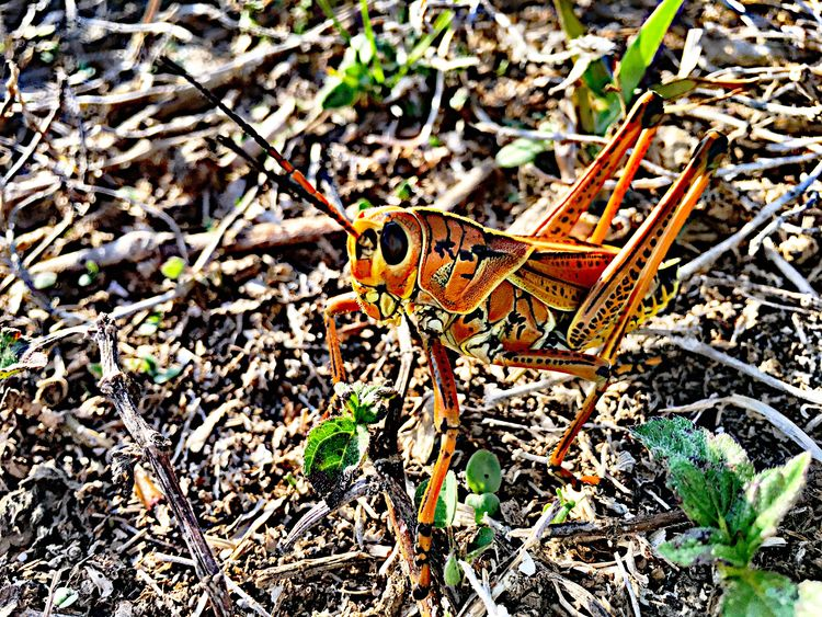 Grasshopper Animals In The Wild Insect Animal Themes Bug Giant Orange Grasshopper Lubber Grasshopper Orange Creepy Crawly