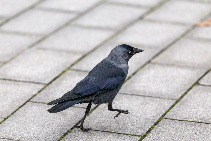 Animal Themes Animal Wildlife Bird Crow Going Krähe Sky Animals In The Wild Bird Of Prey Animal Themes Flying Outdoors Day